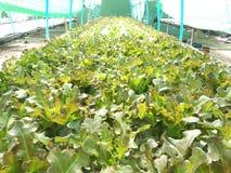 Hydroponic groene groente in hydroponic landbouwbedrijf Royalty-vrije Stock Afbeeldingen