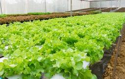 Hydroponic groente Royalty-vrije Stock Foto
