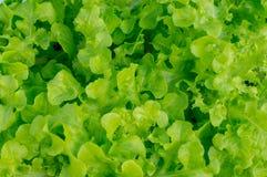Hydroponic groente is groene bladeren Royalty-vrije Stock Afbeelding