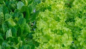 Hydroponic groente is groene bladeren groeiend met water Royalty-vrije Stock Afbeeldingen