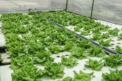 Hydroponic groente wordt geplant in een tuin Royalty-vrije Stock Fotografie