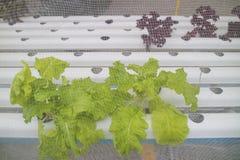 Hydroponic groente wordt geplant in kinderdagverblijf stock fotografie