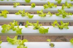Hydroponic  lettuce farm in green house Stock Photo
