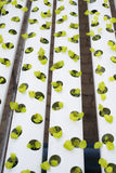 Hydroponic  lettuce farm in green house Royalty Free Stock Photography