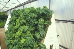 Hydroponic lettuce farming at the University of Arizona Environmental Research Laboratory in Tucson, AZ Royalty Free Stock Images