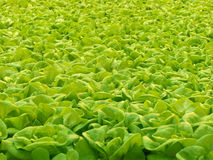 Hydroponic lettuce. Green lettuce grown in a roof farm with hydroponics Stock Photography
