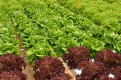 Hydroponic lettuce in greenhouse. Royalty Free Stock Images