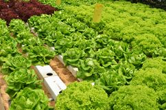Hydroponic lettuce in greenhouse Royalty Free Stock Photography