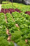 Hydroponic lettuce in greenhouse Royalty Free Stock Image