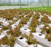 Hydroponic lettuce leaf vegetables plantation Stock Image