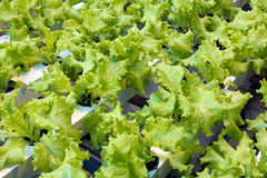 Hydroponic lettuce rows in greenhouse Stock Image