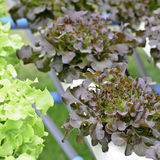 Hydroponic lettuce vegetable Royalty Free Stock Photography