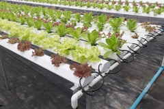 hydroponic lettuce vegetable growing in agriculture farm Stock Images