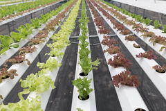 hydroponic lettuce vegetable growing in agriculture farm Stock Image