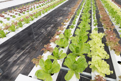 hydroponic lettuce vegetable growing in agriculture farm Royalty Free Stock Photo