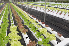hydroponic lettuce vegetable growing in agriculture farm Royalty Free Stock Photography