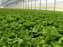 Hydroponic Lettuces. Growing in Greenhouse Royalty Free Stock Photography