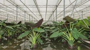 Hydroponic odling av lade in växter för Philodendron maximum Arkivbilder