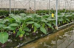 Hydroponic odling av lade in växter för Philodendron maximum Royaltyfria Foton