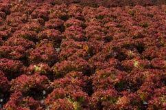 hydroponic organisk grönsak för lantgård Arkivfoton