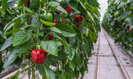 Hydroponic paprika cultivation Stock Photos