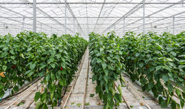 Hydroponic paprika cultivation Royalty Free Stock Images
