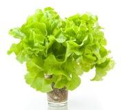 Hydroponic plantaardige Groene Eik stock afbeeldingen