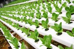 Free HYDROPONIC PLANTATION Stock Images - 19434664