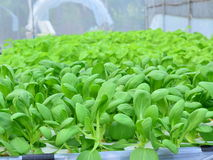 Hydroponic plantation. Of vegetable in nursery Royalty Free Stock Images