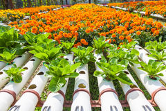 Hydroponic Plantation in the farm Royalty Free Stock Photos