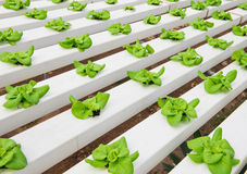 Hydroponic plantera för grönsak Fotografering för Bildbyråer
