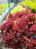 Hydroponic plants. Close up fresh hydroponic plants Stock Photography