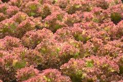 Hydroponic plants in vegetable garden farm Stock Photos