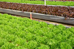 Hydroponic plants in vegetable garden farm Royalty Free Stock Photos