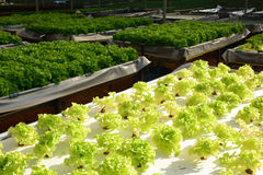 Hydroponic plants in vegetable garden farm Royalty Free Stock Image