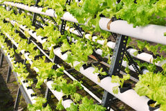 Hydroponic on plastic pipe Stock Photo