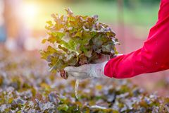 Hydroponic red oak leaf lettuce in vegetable farm stock photo