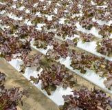 Hydroponic red oak leaf lettuce plantation Stock Photography