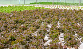 Hydroponic red oak leaf lettuce vegetables plantation Stock Photo