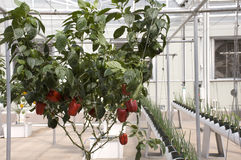 Hydroponic Red Peppers. In a Green House Royalty Free Stock Images