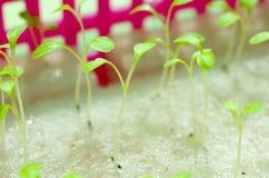 Hydroponic sałatki w ogrodowym Tajlandia Zdjęcia Stock