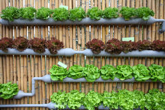 Hydroponic salad vegetable. Hydroponic salad vegetable in farm Stock Image