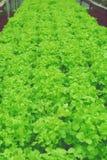 Hydroponic saladegroente Royalty-vrije Stock Fotografie
