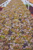 Hydroponic saladegroente Royalty-vrije Stock Afbeelding