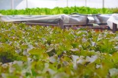 Hydroponic saladegroente Royalty-vrije Stock Afbeeldingen
