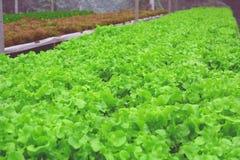 Hydroponic saladegroente Royalty-vrije Stock Foto