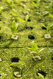 Hydroponic seedling Royalty Free Stock Photography