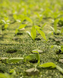 Hydroponic sprout Stock Photography