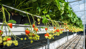 Hydroponic strawberry cultivation at an ergonomic working height. Closeup of hydroponic cultivated strawberry plants in the large glasshouse of a specialised Royalty Free Stock Images