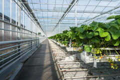 Hydroponic strawberry cultivation in a glasshouse Stock Images